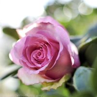 Pink rose with bokeh 1 by FrancescaDelfino