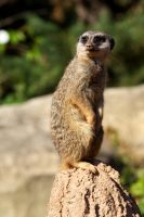 Meerkat 05 Stock by lokinststock