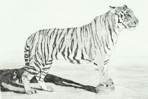 Tiger '2 by Sollerion