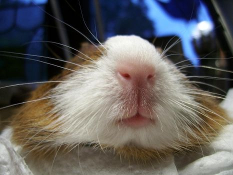 Guineapig Nose by Siobhan68