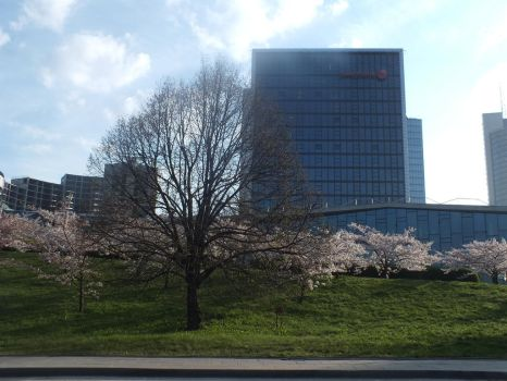 Cherry Blossoms in the town 1 by ajoj