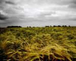Fields of Barley by rogerss1