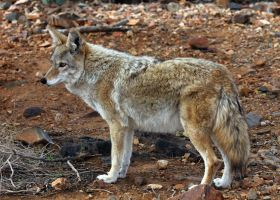 Coyote 5283 by mammothhunter