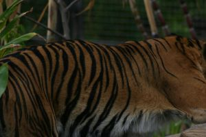 Tiger Stripes by newdystock