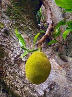 Wild Jackfruit by joeyartist