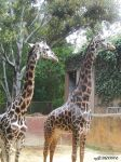 Giraffe Family by mzGALORE