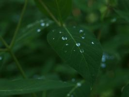 dew drops on green leaves 3 by fotophi