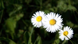 daisies by Grabo23
