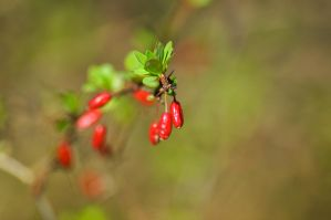 Red berry by Neurologics