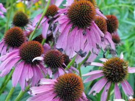 Purple Cone Flowers by Ginesthoi