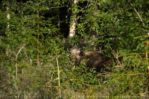 Wild Moose Cow by linneaphoto