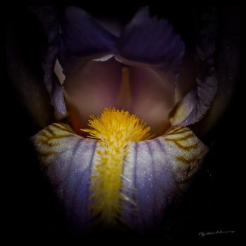 Heart of Iris by BenoitJWild
