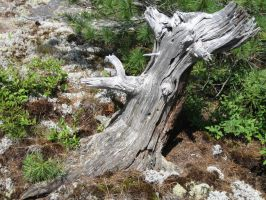Tree Stump Georgian Bay by farstar666