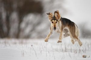 Flying Saluki by Wolfruede