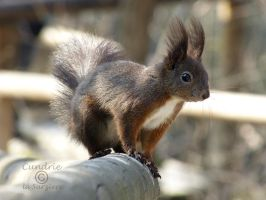 Squirrel 64 by Cundrie-la-Surziere