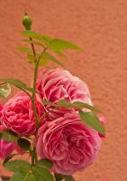 Rose 03 by NellyGrace3103