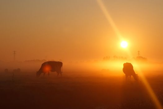 Cows in the Mist by thrumyeye