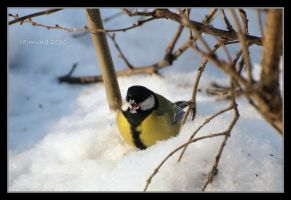 Snowy beak by Rajmund67