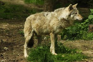 wolve 2 by marob0501