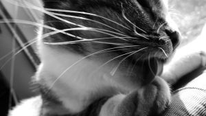 Whiskers by jaybird28