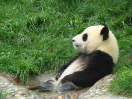 Baby Pander 'Chillin' by VixenRapture