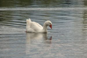 White Goose in Water by canuckgurl22-stock