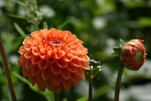 view to filled dahlia by ingeline-art