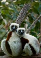 Sifaka couple by White-Voodoo