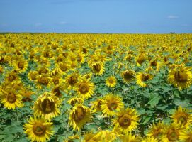 sunflower field by Dieffi