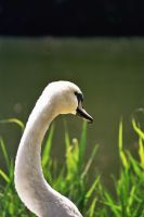 Swan by PawelPM