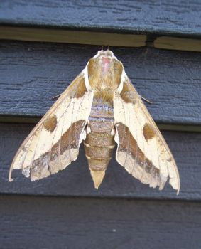 moth1 by 00alice00-stock