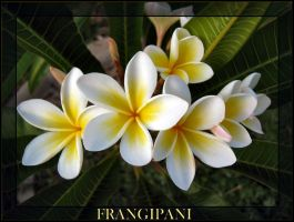 Frangipanis by Pianochick66