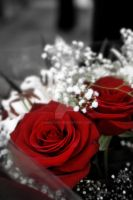 Red Rose. by amedved