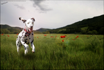 Running through poppies by HPsCopperMoments