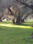 Old Olive Trees (5) by Torhval