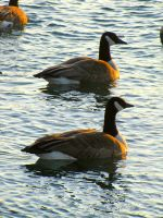 Golden Geese by The-ThirdEye