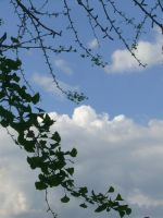 Ginko leaves against the sky I by dull-stock