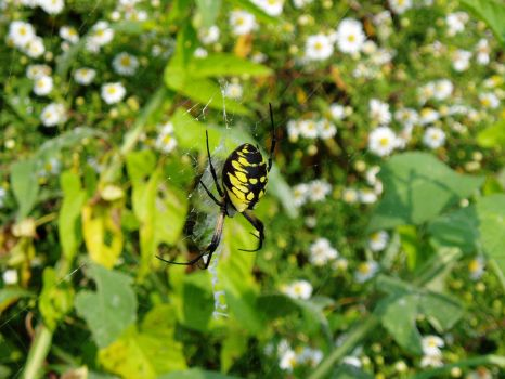 Argiope female spider by lacampbell