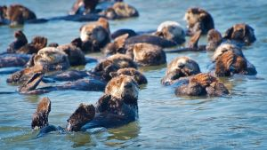 A Raft of Otters 2 by DeniseSoden