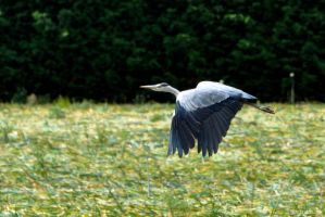 Blue Heron in flight by Lentekriebel