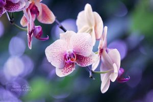 .:Orchid Fantasy:. by RHCheng