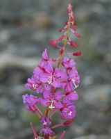 Fireweed by DennisDawg
