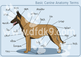 Basic Canine Anatomy - Malinois by MauserGirl
