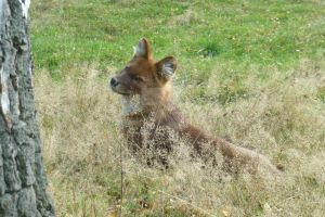 Another pic of Dhole from WMSP by Nightwolfhunter13