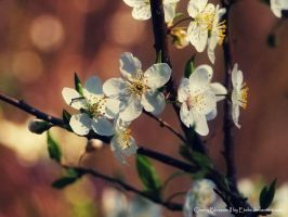 Cherry Blossom II by Etelie