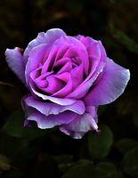 The Magical Rose by Forestina-Fotos