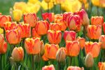 Spring Tulips by CASPER1830