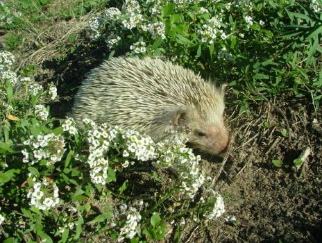 saved baby vagrant hedgehog by floramelitensis