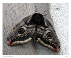 Emperor Moth by horai