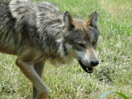 OKCZ July 9: Mexican wolf 12 by FamilyCanidae